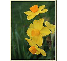 Winter Daffodil Photographic Print