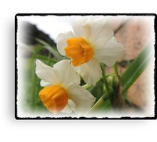 More Daffodils   Canvas Print