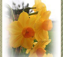Daffodil delight by Jan Legg