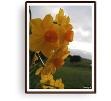 Daffodil Beauty Canvas Print