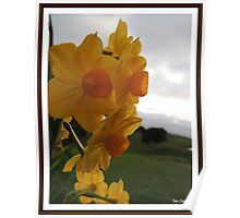 Daffodil Beauty Poster