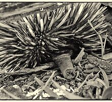 Echidna Cam by Paul Amyes