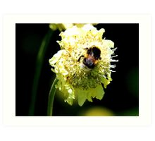 Bumble Bee on White Flower Art Print
