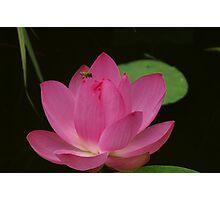 Honey Bee And Lotus Photographic Print