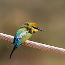 Ruffled Rainbow Bee Eater by mncphotography