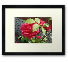 Roses in Hiding Framed Print