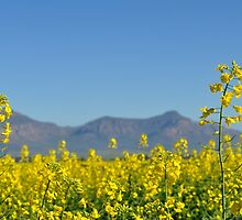 Canola crop by Karen01
