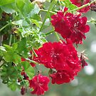 Bright Red Clusters by Sherry Sagle