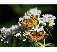 Pair of Pearly Crescentspots Photographic Print