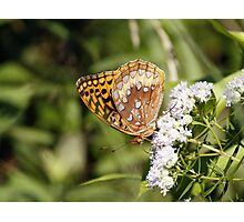 Great Spangled Fritillary Photographic Print