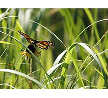 Viceroy on Flower Photographic Print
