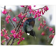Tui - swinging in the blossoms........! Poster