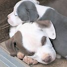 Puppies ~ Puppies ~ Puppies ~ York Kennels ~ by Ginny York by Ginny York