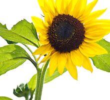 Sunflower by Randall Faulkner