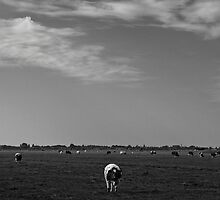 Cow in pasture by mattijs