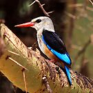 Grey-headed Kingfisher  - Lake Manyara  by john  Lenagan