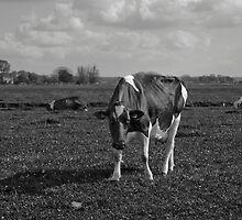 Cows in pasture by mattijs