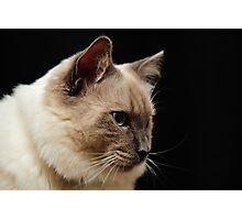 rag doll cat #2 Photographic Print