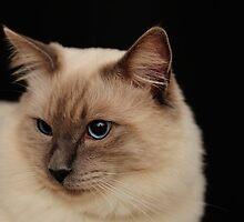 rag doll cat #3 by metriognome
