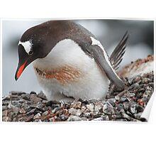 Nesting Gentoo Penguin Poster
