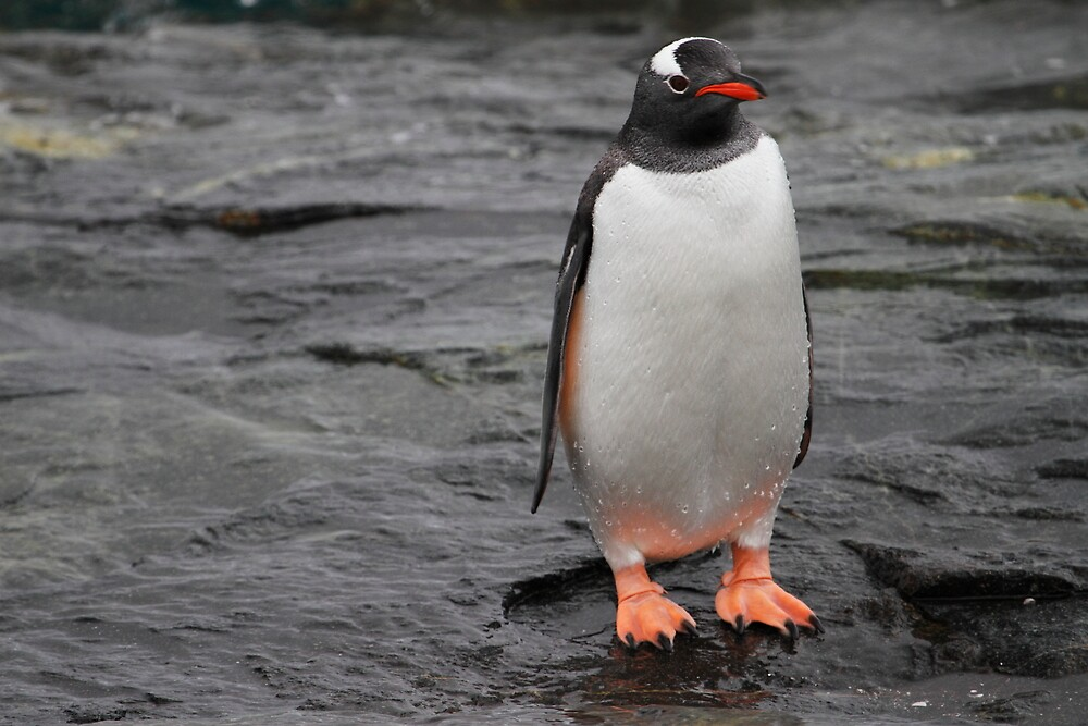 Gentoo stand by DianaC