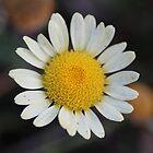 Daisy by emsta