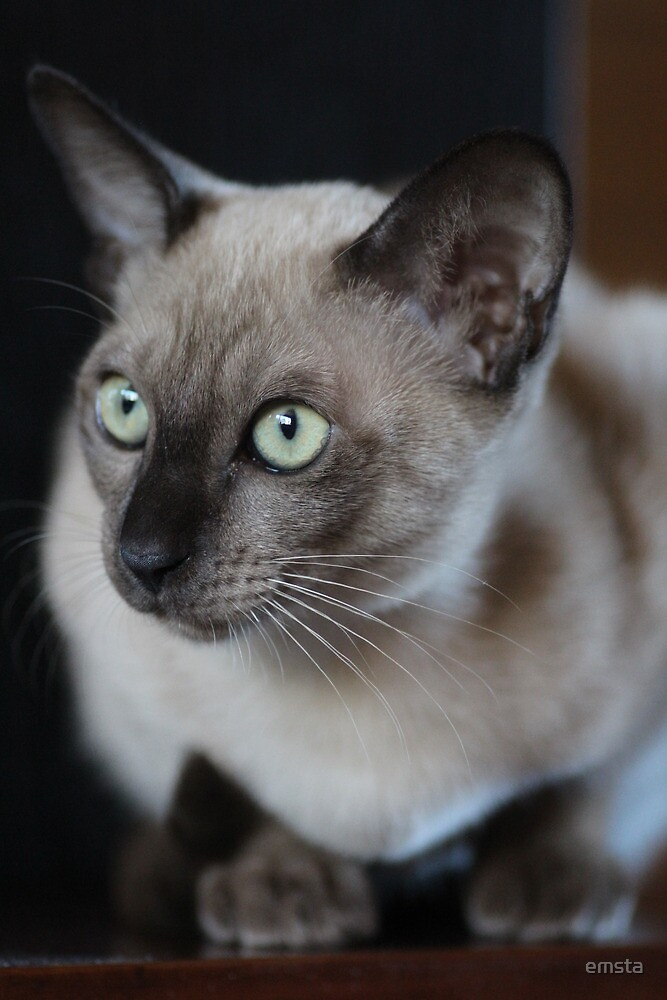 Mia the tonkinese #2 by emsta