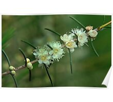 baeckea flowers #1 Poster