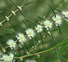 baeckea flowers #2 by metriognome