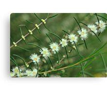 baeckea flowers #2 Canvas Print