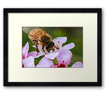 Bee on Geraldton Wax Framed Print