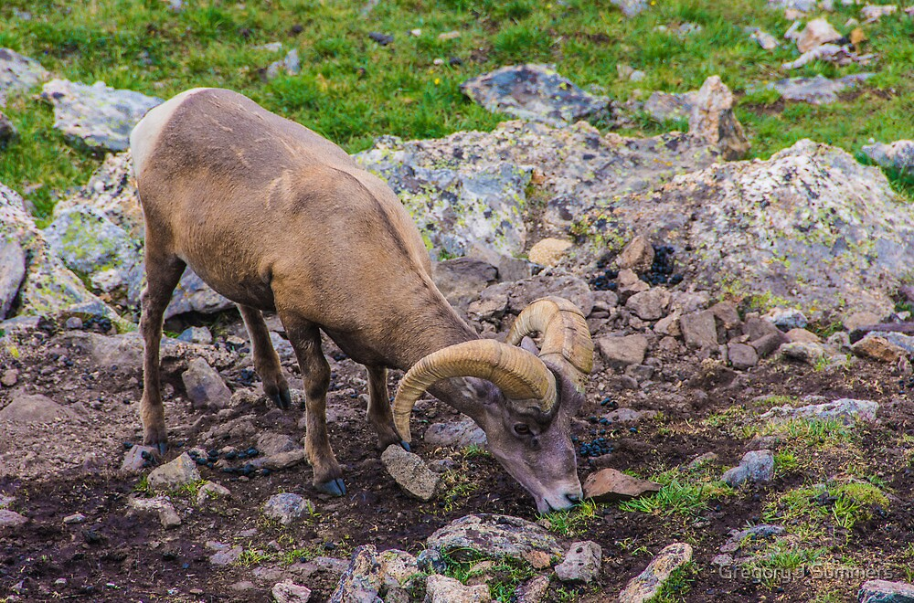 Rocky Mountain Big Horn Sheep by nikongreg
