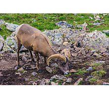 Rocky Mountain Big Horn Sheep Photographic Print
