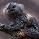 Baby Marmoset by Krys Bailey