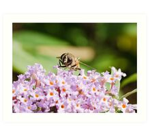 Hoverfly Art Print