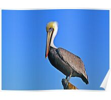 Pelican and blue sky Poster