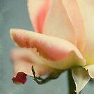 Peach Rose by Honey Malek
