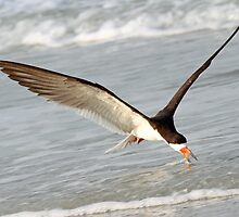 A Skimmer Skimming! by jozi1