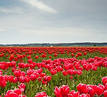 Tulips by Jaime Pharr
