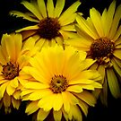 Yellow Daisies by Chantal PhotoPix