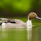 Pintail drake by MIRCEA COSTINA