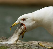 Ring-billed Gull by MIRCEA COSTINA