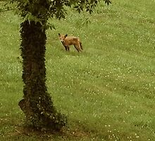 Fox in my Mother's Backyard by CORA D. MITCHELL