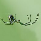 Orchard Orbweaver by William Brennan