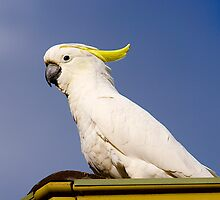 Guard Duty, Australian Sulpher-Crested Cockatoo, 2013. by johnrf