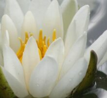 White Water Lily Lotus Flower Sticker