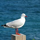 Posing Seagull by Cindy Hitch