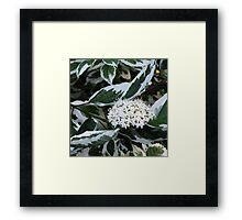 Dogberry blossoms Framed Print
