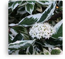 Dogberry blossoms Canvas Print