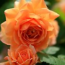 British Rose by tonni